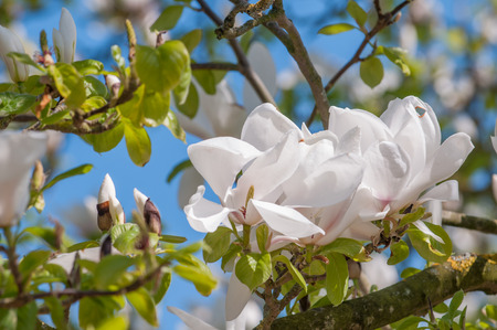 magnolia branch: Flowers on a Magnolia tree branch with bright vivid blue sky Stock Photo