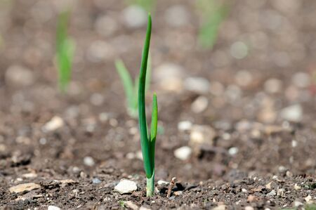 beginnings: Small green plant shoot growing from dry soil, concept for new beginnings