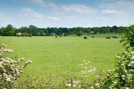 food products: Cows grazing in the pasture on a summers day Stock Photo