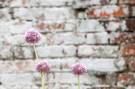 flowering plant: Flowering plant on a brick wall background