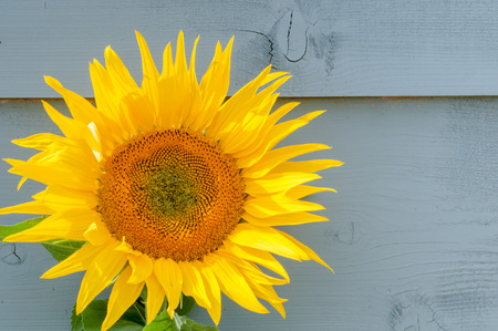 Sunflower growing on a rustic background