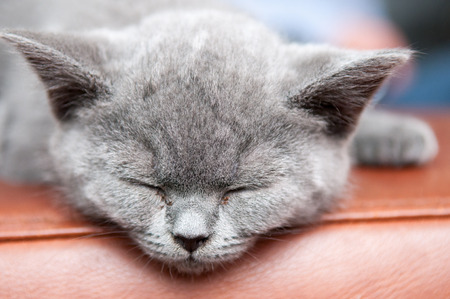 Cute sleeping kitten resting and relaxing, Feline animal Stock Photo