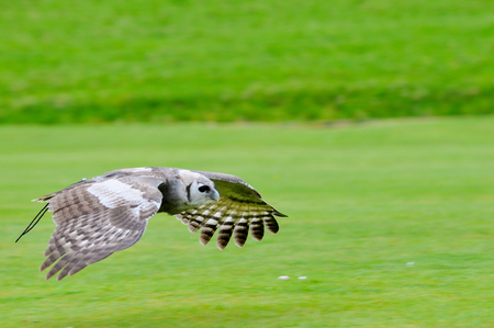 falconry: owl in flight during falconry display