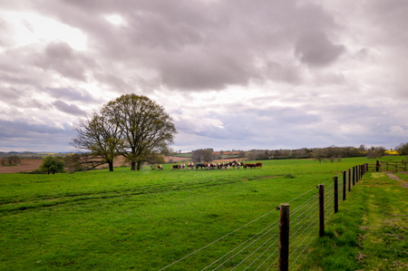 Cows in a field on a farm pasture Stock Photo