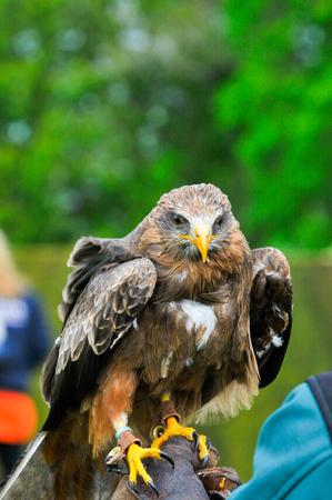 eagle hawk close up during a falconry display