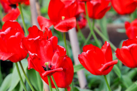 Spring tulips growing in a kitchen garden Stock Photo