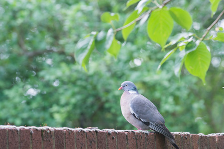 A pigeon stands on a brick wall near to trees Stockfoto