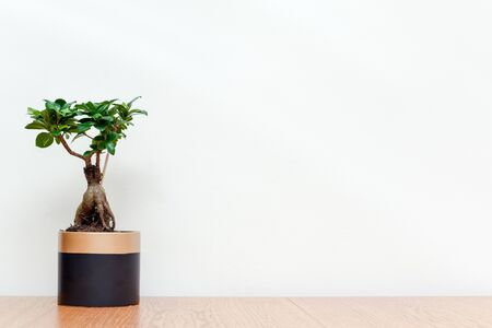 Bonsai tree in modern interior with white wall background Miniature tree to grow in pot for indoor garden Фото со стока