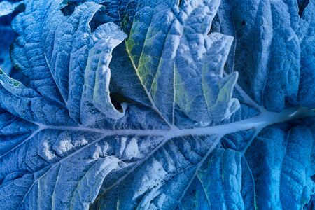 Blue green leaf toned image of plant leaves with frozen frost effect in detail Stock Photo