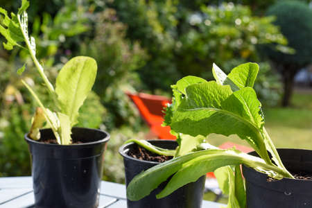 Growing vegetables at home in the garden 免版税图像