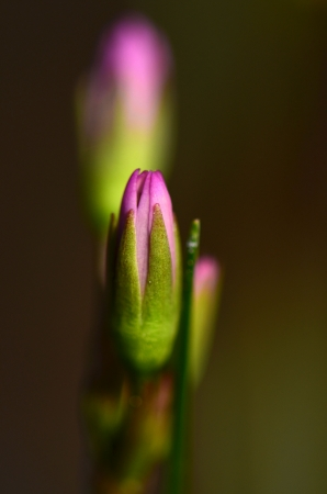 etoiles filante: Shooting Star Flower Bud Banque d'images