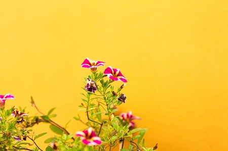 Violet petunia flowers and a yellow wall background (Marche, Italy, Europe)