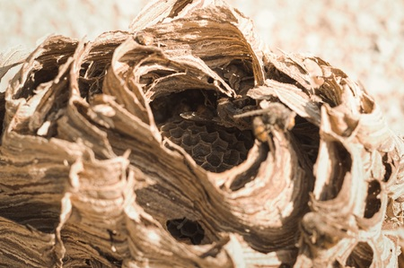 Hornets beehive - Nest of wasps (Marche, Italy, Europe) Stockfoto