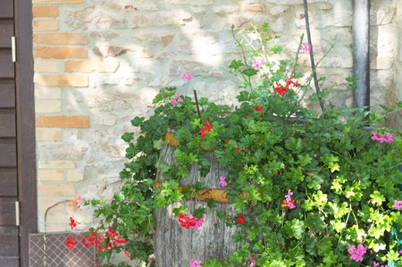 Bougainvillea plant and flowers in the barrel (Marche, Italy, Euope) Banque d'images