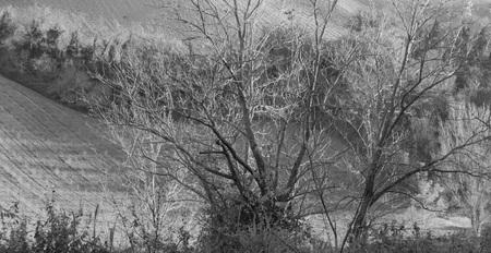 Isolated tree in the italian countryside (Pesaro, Italy, Europe)