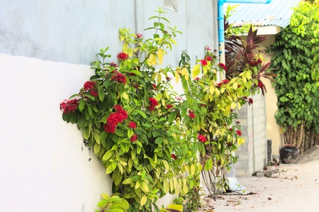 Isolated geranium plant with red flowers on the street (Ari Atoll, Maldives)