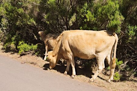 Cows and calves at the side of an asphalt road (Madeira, Portugal)