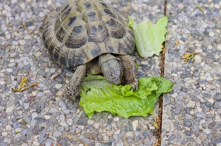 A land turtle is eating a lettuce leaf in the garden (Pesaro, Italy, Europe)