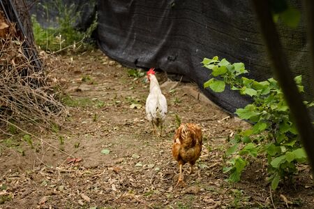 White and brown roosters in the garden with red crest and wattles (Pesaro, Italy, Europe)