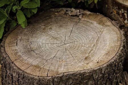 Tree trunk cut in half (Pesaro, Italy, Europe)