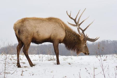 elk horn: A big bull elk searching for food in the snow on a snowy day.
