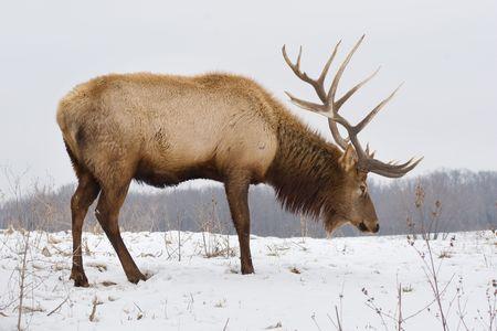 Un élan de bull big chercher de la nourriture dans la neige un jour enneigé. Banque d'images