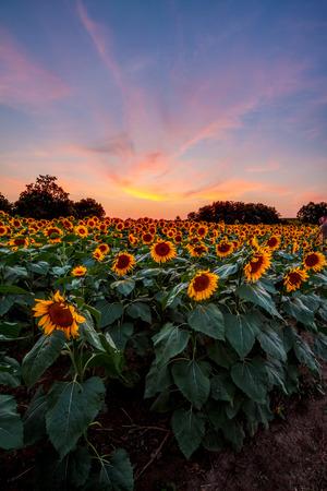 それの後ろに色鮮やかな夕焼けとカンザス州のひまわり畑。