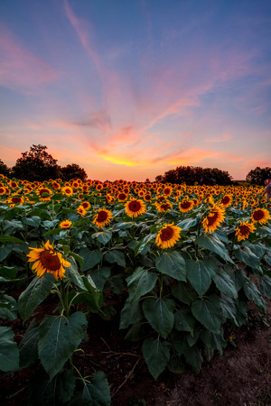 A sunflower field in Kansas with a colorful sunset behind it.