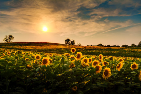 america countryside: A view of a sunflower field in Kansas.
