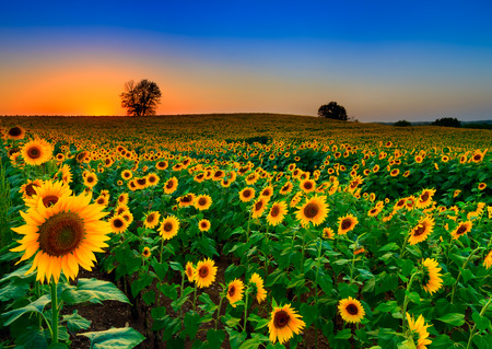 A rolling field of sunflowers at dusk in Kansas