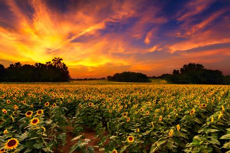 paisaje rural: Un sunflowerfield en Kansas con una hermosa puesta de sol