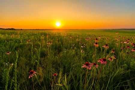 campo de flores: Puesta de sol en un campo de la pradera de Coneflowers p�rpura. Flores silvestres son una parte importante de una pradera y la restauraci�n de ellos.