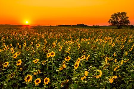 フィールドにおける太陽とひまわりの下りを開始。