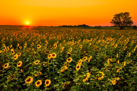 going down: A field full of sunflowers as the sun starts going down.