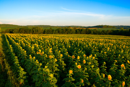 A horizontal view of a skyline over a sunflower field in the midwest