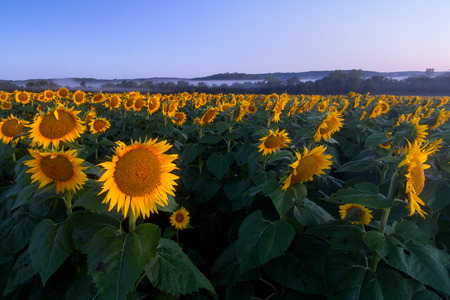 farm landscape: Sunflowers at twilight with fog in the backgound