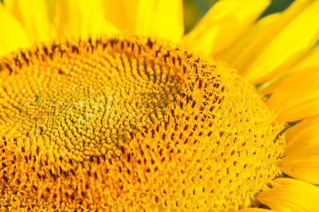 space for writing: Angled view of head of a Sunflower with nectar. Image taken with a shallow depth of field to create a space for writing