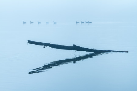 missouri wildlife: A foggy morning on the Missouri River with a limb sticking out of the water and a silhouette of geese swimming in the background.
