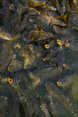 frenzy: A feeding frenzy of hungry carp ready to eat