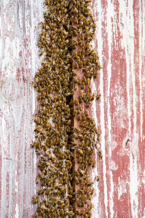 Bees on a barn with a honeycomb in the wood crack Фото со стока