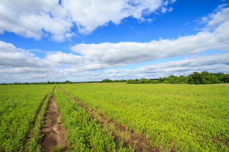 vast: Vehicle path through a vast grass field with fluffy clouds in the Midwest Stock Photo