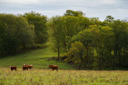 Texas Longhorn Cattle herd on a farm in the Midwest. Stock Photo