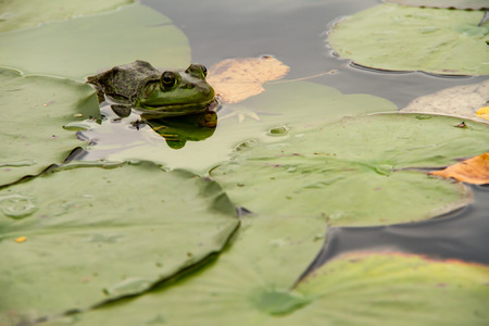 croak: Frog awaiting in some lilypads for some food Stock Photo