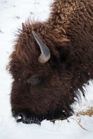 conservation grazing: Image of a buffalo grazing for grass in the snow.