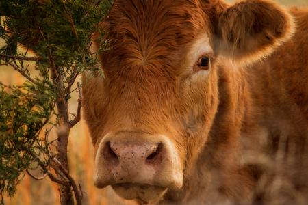 赤いアンガス牛のヘッド画像を閉じる