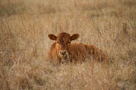 Texas Longhorn Cattle calf laying in a pasture Zdjęcie Seryjne