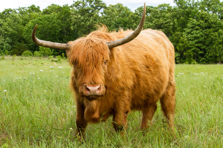 Scottish Highland Cow in a meadow looking at the viewer. Zdjęcie Seryjne