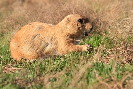 Prairie Dog walking through a field.