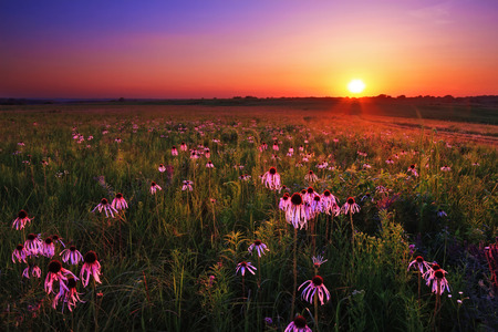 Purple coneflowers at twilight on WahKon-Tah Prairie. Stock Photo