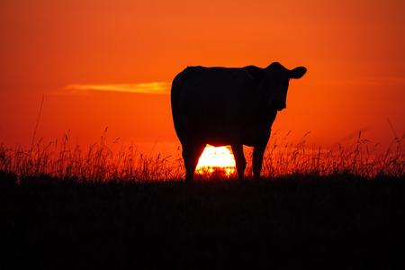 輝く太陽と草原の夕暮れ時牛のシルエット